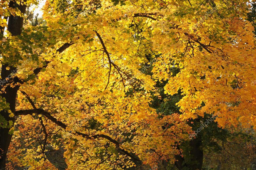 Arbres de l 39 automne lumineux dans le jardin du luxembourg for Arbres jardin du luxembourg
