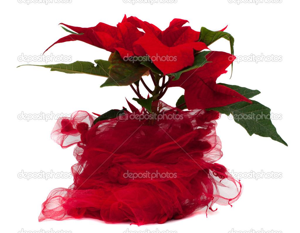 Star Of Bethlehem Flower Stock Photo Trybex 16103121
