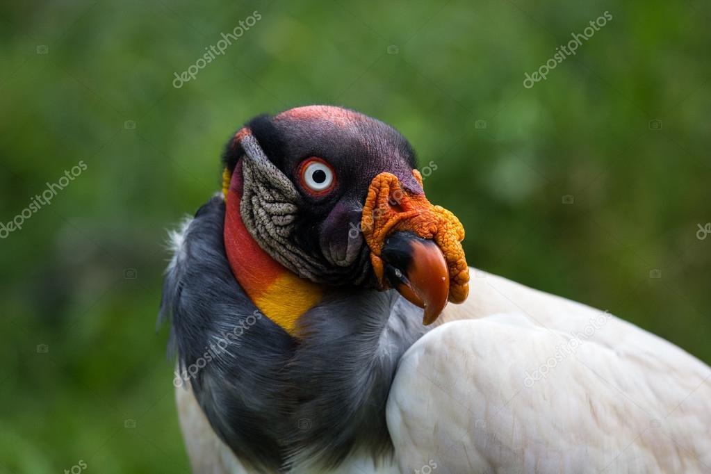 King vulture, Sarcoramphus papa