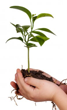 Child's hands holding green plant on white