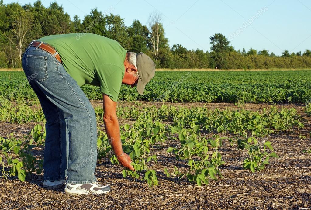 Farmer checks the soybeans