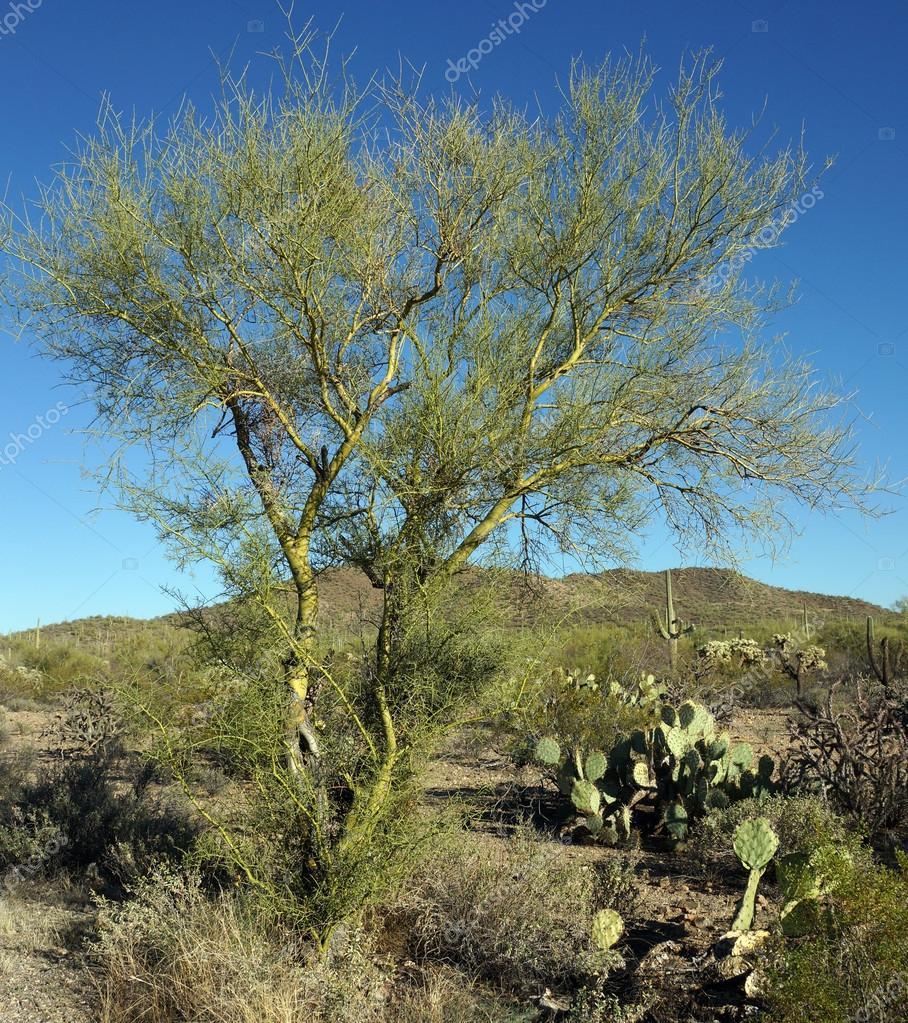 palo verde tree stock photo chloe7992 42549169