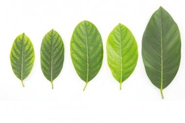 Jack fruit leaves. isolated on white background