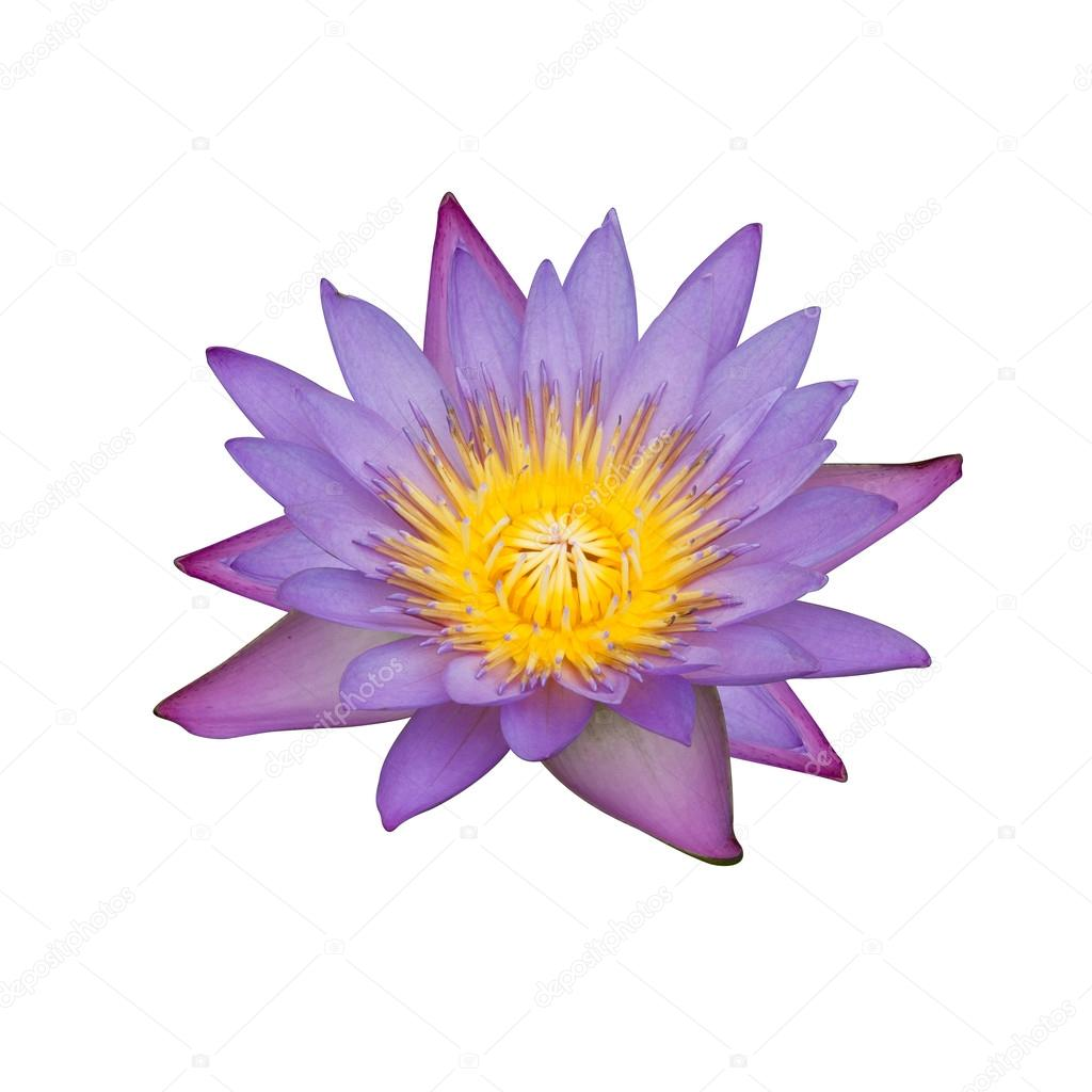 Purple water lily with bloom yellow isolated on white background