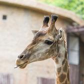 giraffee hlava
