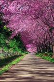 Via del fiore di ciliegio in chiangmai, Thailandia