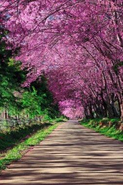 Cherry Blossom Pathway in ChiangMai, Thailand