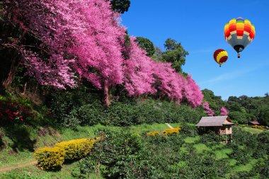 Hot air balloon and Sakura pink flower in Chiangmai Thailand