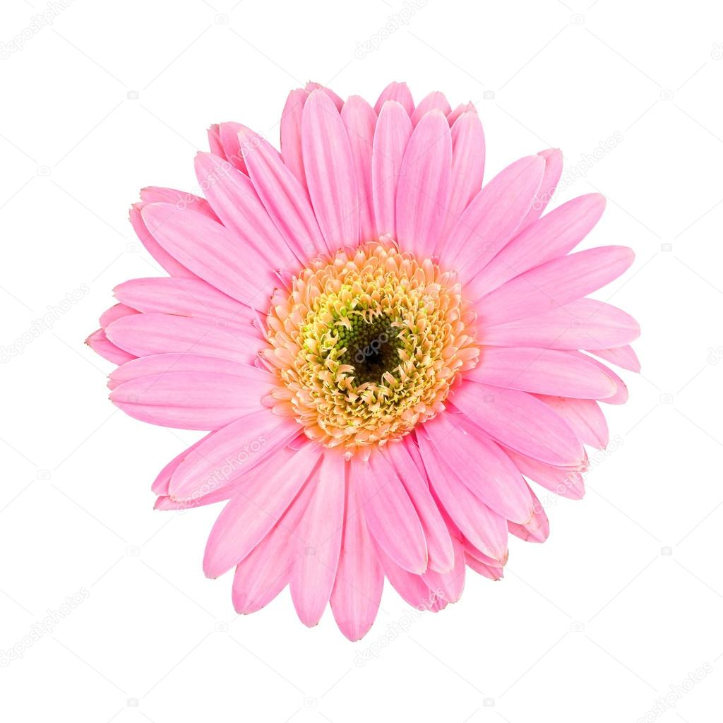 Pink gerbera daisy isolated on white background ⬇ Stock Photo, Image by ©  actionbleem #28123373