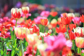 tulipán kert