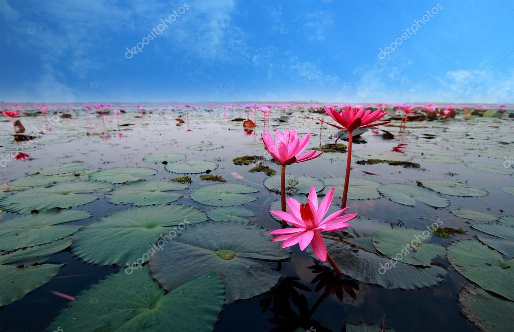 lotus flower reflect in the water