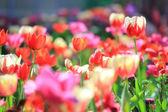 Tulipán kert lágy fókusz