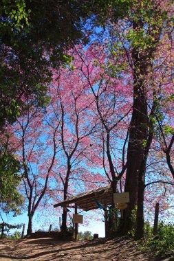 Sakura pink flower in Chiang Mai, Thailand