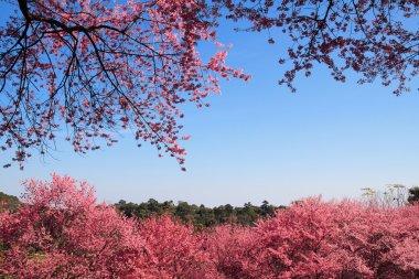 Sakura in ChiangMai, Thailand