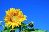 Slunečnice v poli s modrou oblohou