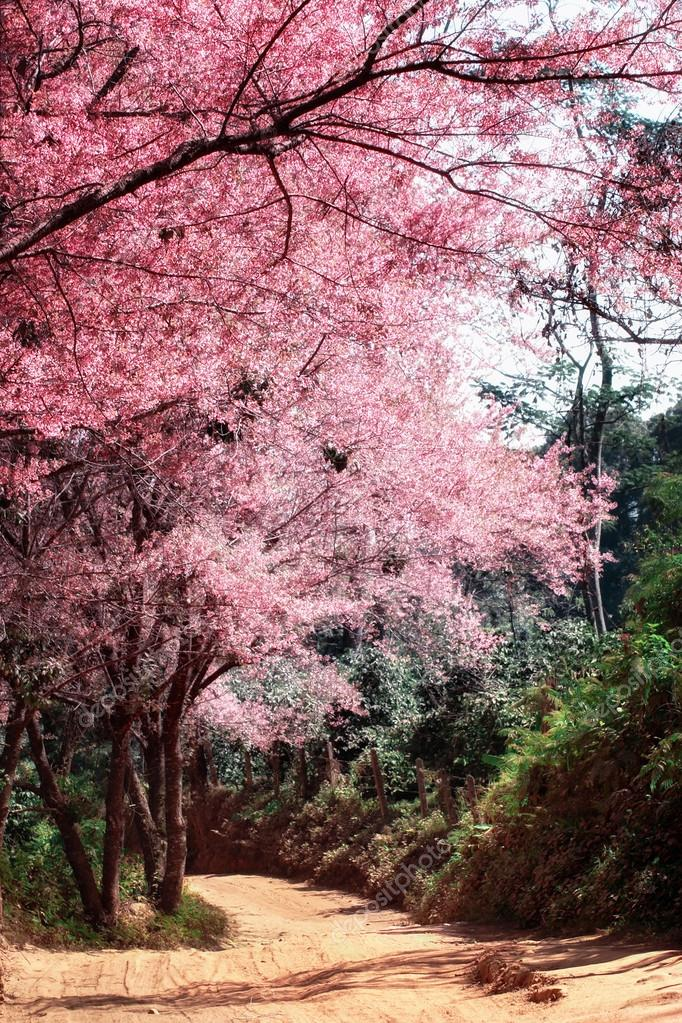 Cherry Blossom in Chiang Mai Thailand