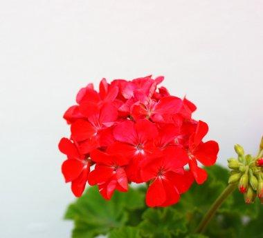 Red garden geranium flowers , close up shot