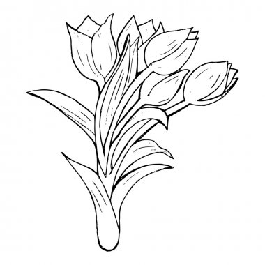 Tulip drawing