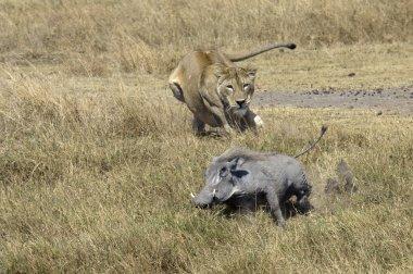 Lioness chasing Warthog