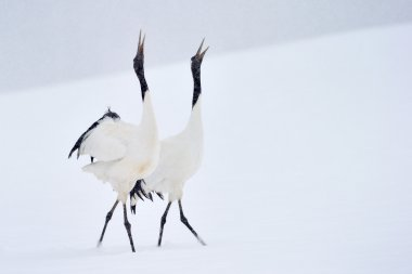 Red Crowned Crane ( Grus japonensis)