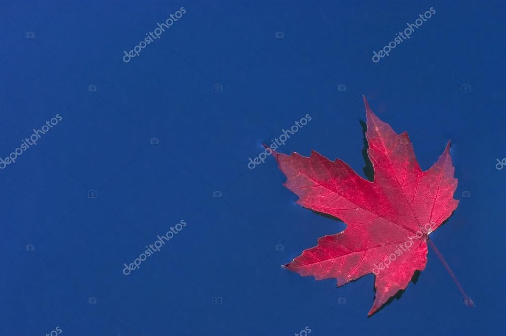Red leaf on blue water