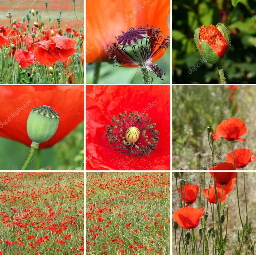 Poppy flower collage