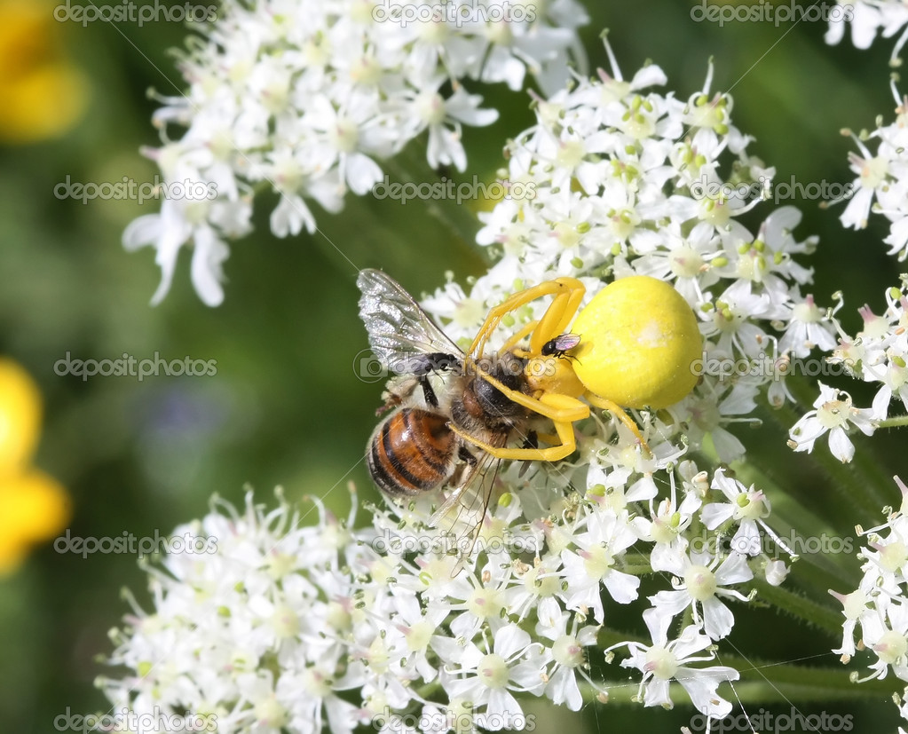 Goldenrod crab spider captures a bee