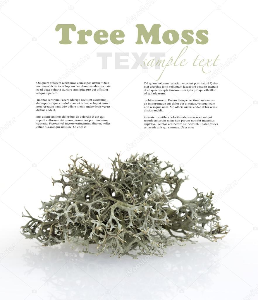 Tree moss from fir and pine trees - raw material for perfume industry