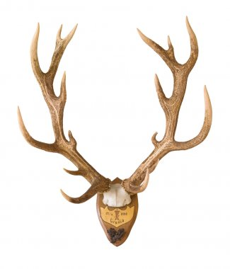 Antlers from a huge stag mounted on wood board,