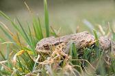 hubená žába po přezimování