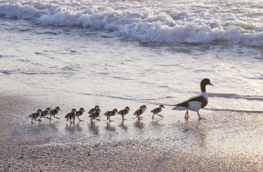 Ducks at beach