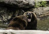 braun Grizzly-Bären