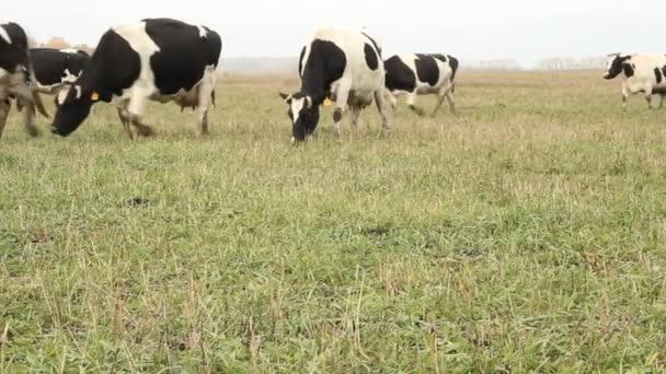 kravín. krávy na farmě Rusko