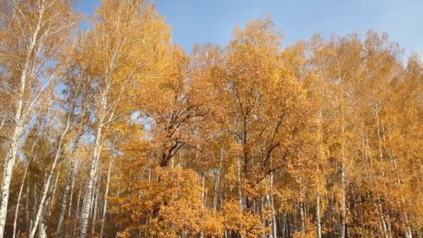 březový les za slunečného dne. podzim
