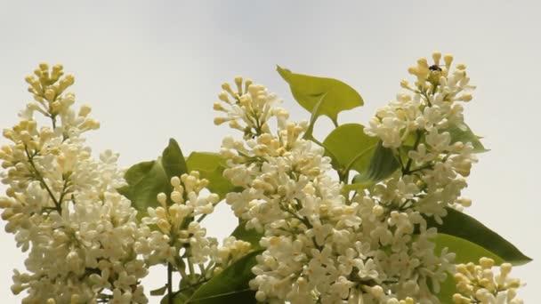Blühende Flieder