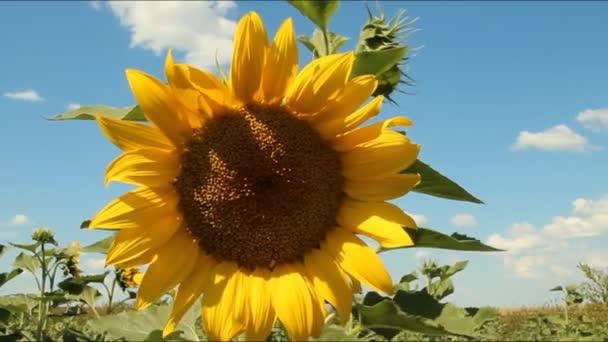 Slunečnice v oboru