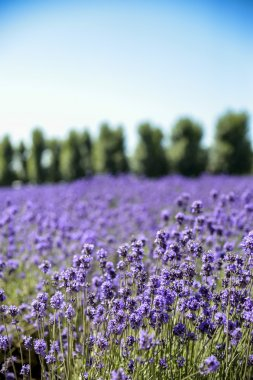 Lavender flower field with blue sky