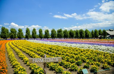 Row of colorful flower in Tomita farm