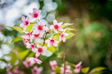 Wild Himalayan Cherry flower blossom on the tree9