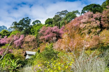 Wooden house in mountain of Pinky Wild Himalayan Cherry flower5