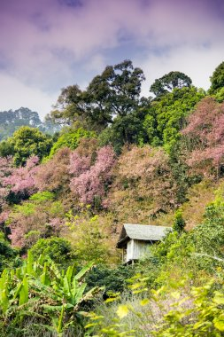 Wooden house in mountain of Pinky Wild Himalayan Cherry flower2