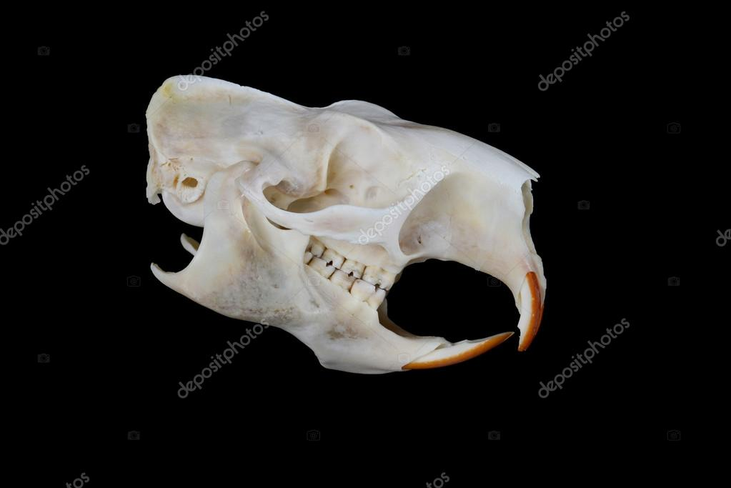 Cranio di istrice foto stock asbjhb 46191803 for Noleggio di cabine di istrice