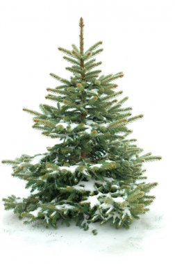 Fur tree isolated on white