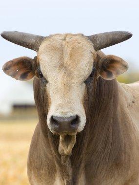 Mean Bull