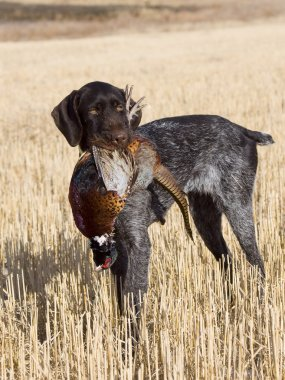 Dog and a pheasant