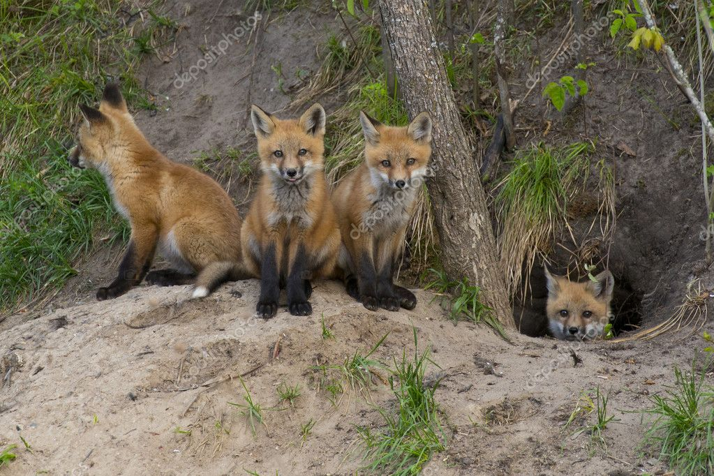 Red Fox kits at their den