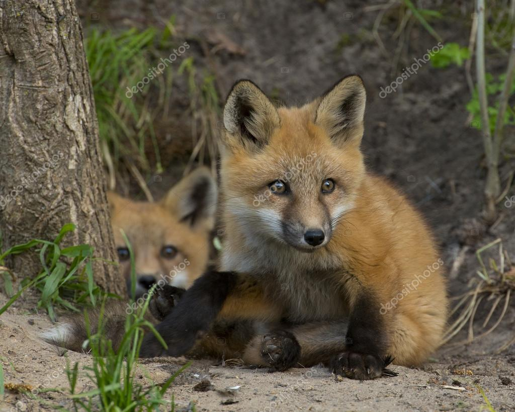 Young Red Foxes at thier den