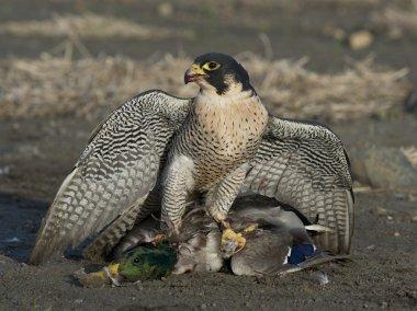 Peregrin Falcon with a Mallard