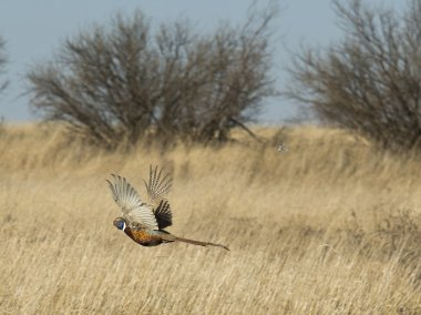 Flying Rooster Pheasant