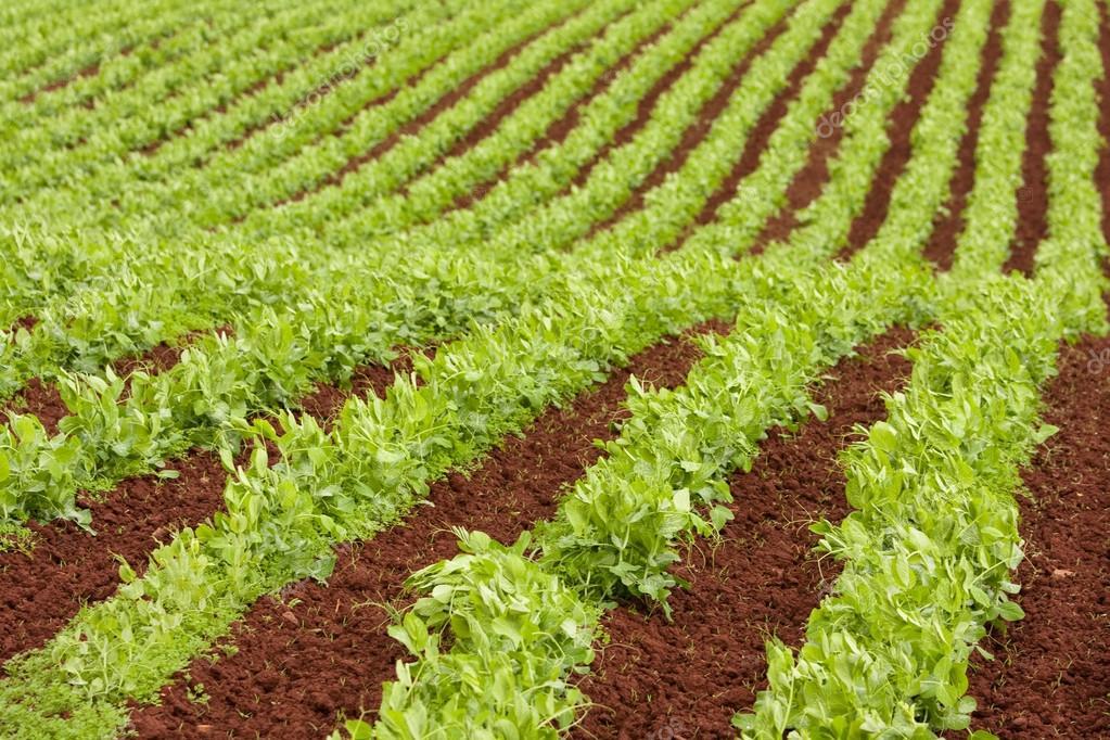Farm rows of fresh pea plants